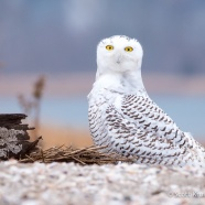 Snowy Owl Take Two