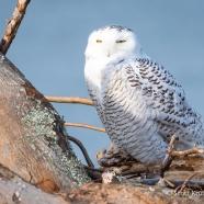 Snowy Owl Snooze