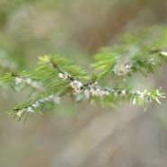 Calling All Citizen Scientists: Help Protect Our Hemlock Trees!