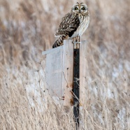 Short-eared Owl Camouflage