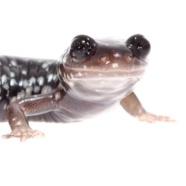 Celebrate 'Salamander Saturday' on May 5th!