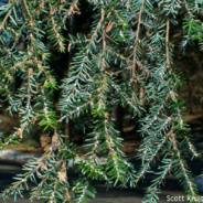 Citizen Science Opportunity: Protect Our Hemlock Trees
