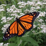 The Message of the Monarchs by Becky Nystrom