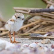 Vigilant volunteers on Connecticut beaches result in successful nesting season for threatened shorebirds.